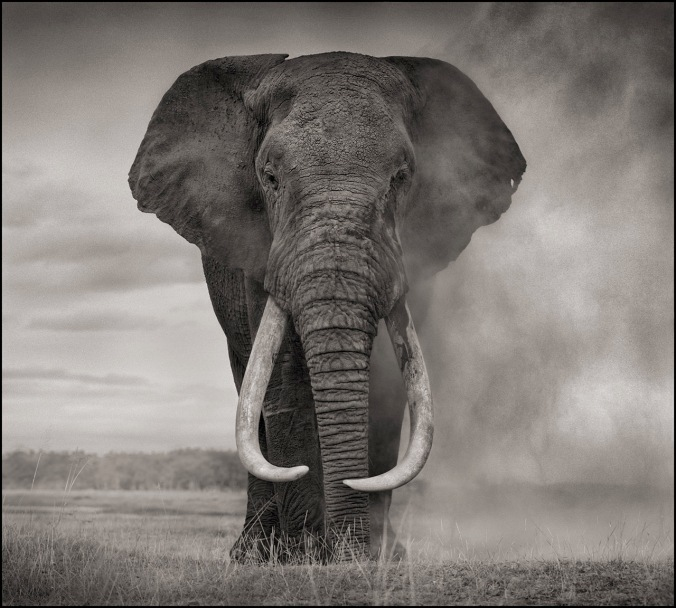 RANGER WITH TUSKS OF KILLED ELEPHANT, ELEPHANT IN DUST, AMBOSELI
